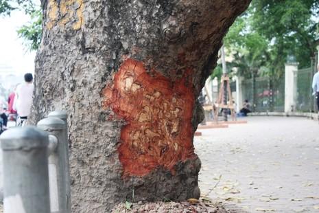 Hà Nội: Nhiều phố có hàng xà cừ cổ thụ bị vết 'chém' lạ - ảnh 3