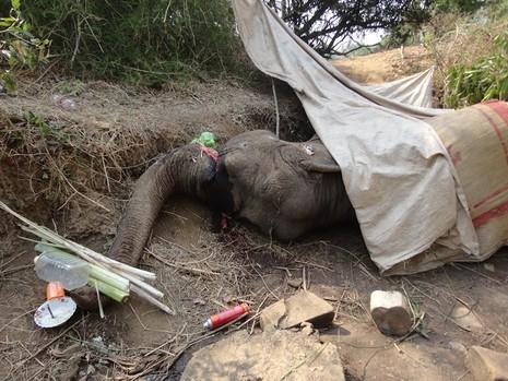 Con voi cuối cùng của xã chết thảm vì bị chém rồi kiệt sức - ảnh 1