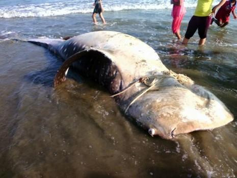 Cá voi 'khủng' trôi dạt vào đồi dương - ảnh 1