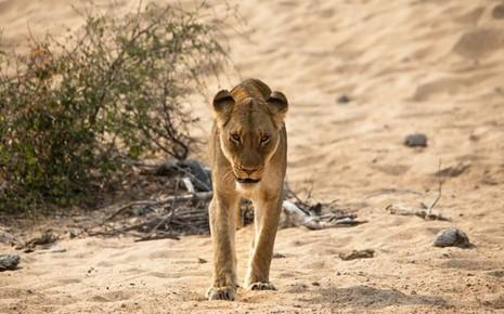 Con sư tử 'méo mặt' vì bị đàn ruồi kéo tới làm phiền - ảnh 4