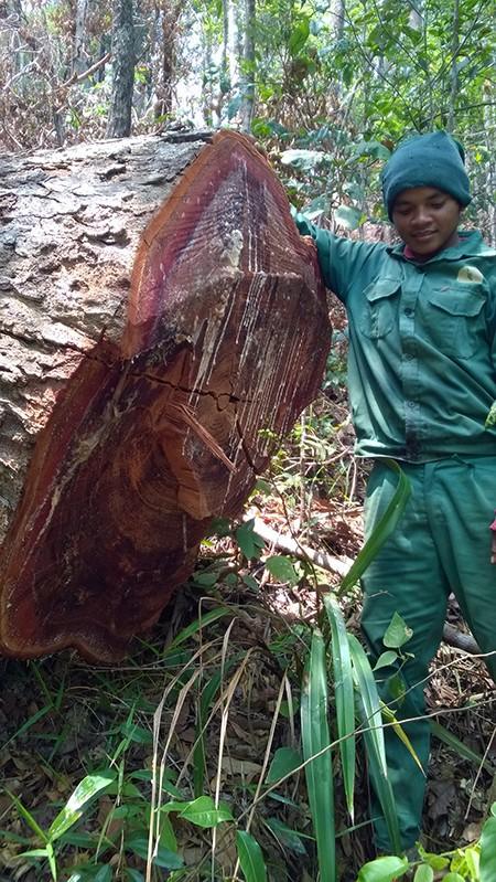 Cả năm điều tra tìm không ra người phá rừng ở Gia Lai - ảnh 2