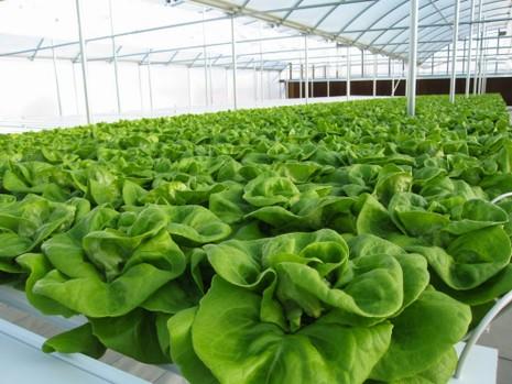 Muốn trồng rau sạch: Không dễ! - ảnh 2