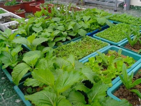 Muốn trồng rau sạch: Không dễ! - ảnh 1