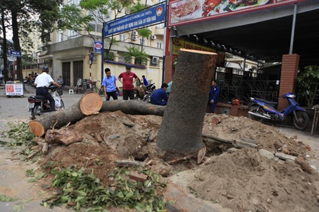 Thủ tướng Chính phủ yêu cầu Hà Nội xử lý nghiêm sai phạm vụ chặt cây xanh  - ảnh 1
