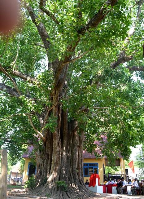 Cây Bồ Đề 132 năm tuổi tại Tây Nguyên được gắn biển cây di sản - ảnh 1