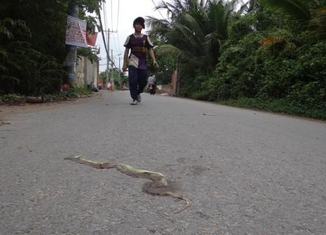 Rắn lục đuôi đỏ xuất hiện nhiều ven sông Sài Gòn - ảnh 1