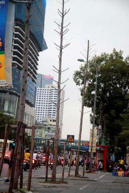 Hàng cây mỡ trên đường Nguyễn Chí Thanh - Hà Nội chết khô  - ảnh 4