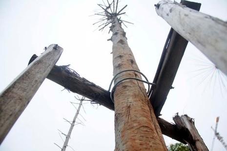 Hàng cây mỡ trên đường Nguyễn Chí Thanh - Hà Nội chết khô  - ảnh 5