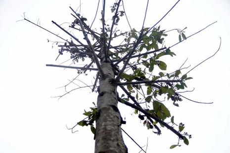 Hàng cây mỡ trên đường Nguyễn Chí Thanh - Hà Nội chết khô  - ảnh 9