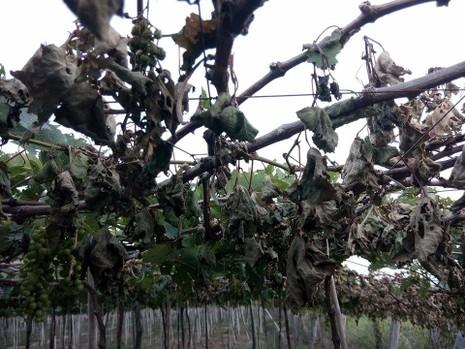 Vườn nho hơn 1000 gốc bị 'tàn sát' chỉ trong một đêm - ảnh 5