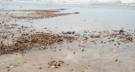 Cá biển tiếp tục chết, ngư dân Quảng Bình điêu đứng - ảnh 4