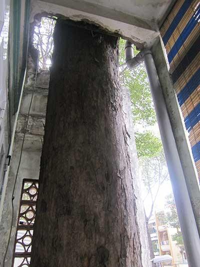 Người dân kêu cứu vì cây cổ thụ làm nứt nhà - ảnh 1