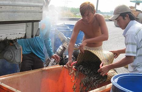 Trung Quốc 'điều khiển' thị trường thủy sản Việt  - ảnh 1