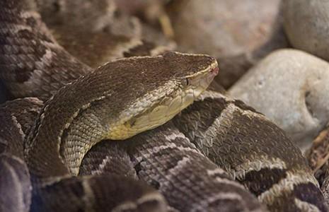 Nọc rắn giúp cầm máu - ảnh 1