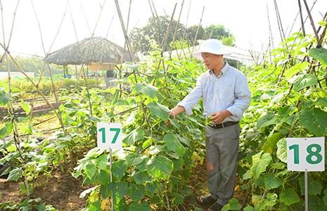 Nhà nông Việt trồng rau kiểu Mỹ - ảnh 1