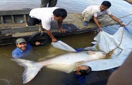 Bắt được cá da trơn hơn trăm ký trên sông Mê Kông - ảnh 1