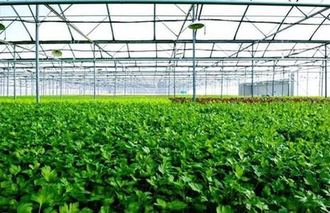 Mô hình trồng rau VietGap khép kín của Vingroup - ảnh 1