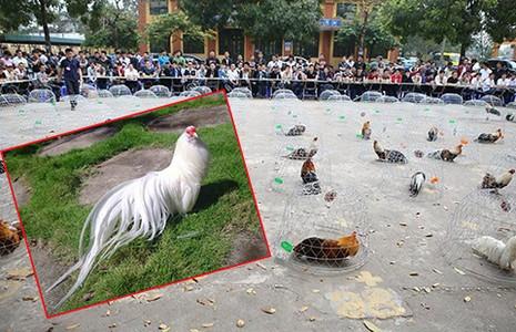 Dân chơi Sài Gòn chăm gà để thi hoa vương - ảnh 1