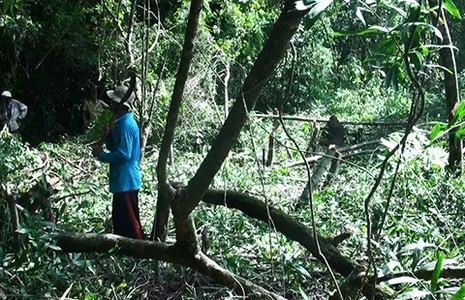 Phá 630 ha rừng tự nhiên để nuôi bò (?!) - ảnh 1