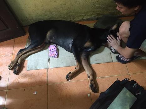 Chú chó Doberman bị người đàn ông dùng dao đâm vào cổ đã chết - Ảnh 2.