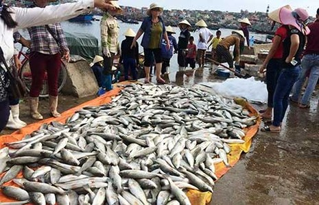 50 tấn cá chết ở Thanh Hóa là do tảo nở hoa - ảnh 1