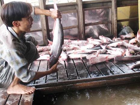 Xuất khẩu cá tra phải thu mua theo danh sách của Mỹ  - ảnh 1