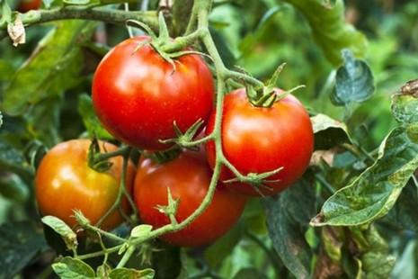 7 loại cây rau củ rất độc hại trong vườn nhà - ảnh 2