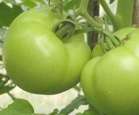 Hợp chất trong táo và cà chua xanh giúp giảm teo cơ - ảnh 1
