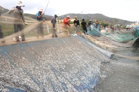 Ngư dân Hòn Rớ nô nức được mùa cá cơm - ảnh 4