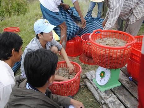 Mua bán tôm ở Việt Nam là tự do, nhưng không dễ lợi dụng (minh họa).