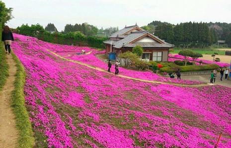 Cụ già trồng một đồi hoa để tặng người vợ mù - ảnh 1