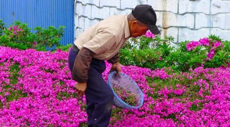 Cụ già trồng một đồi hoa để tặng người vợ mù - ảnh 2