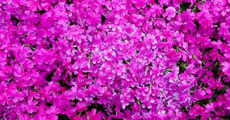 Cụ già trồng một đồi hoa để tặng người vợ mù - ảnh 7
