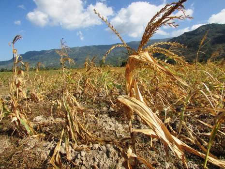 Hạn hán ở Ninh Thuận: Làm rẫy dưới lòng hồ vẫn thiếu nước - ảnh 3