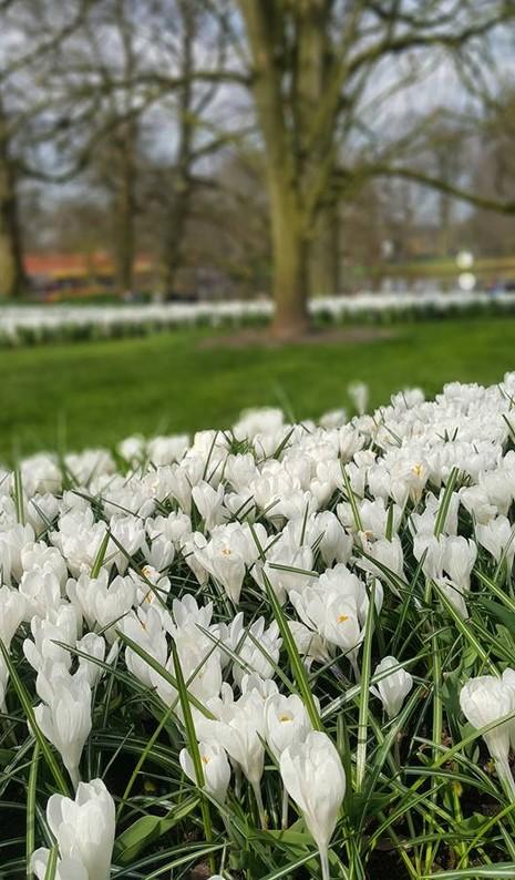 Ngắm 800 loài tulip rực rỡ tại hội hoa Keukenhof - ảnh 11