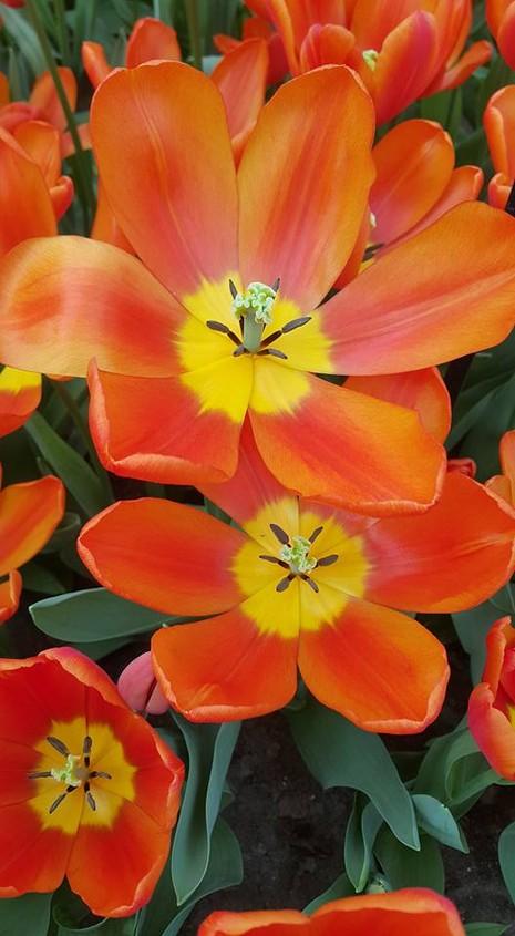 Ngắm 800 loài tulip rực rỡ tại hội hoa Keukenhof - ảnh 1