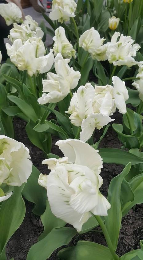 Ngắm 800 loài tulip rực rỡ tại hội hoa Keukenhof - ảnh 4