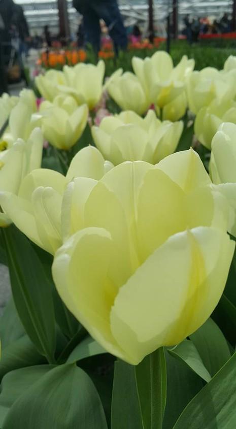 Ngắm 800 loài tulip rực rỡ tại hội hoa Keukenhof - ảnh 6