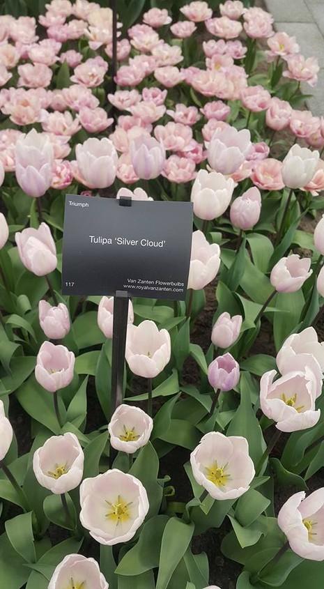 Ngắm 800 loài tulip rực rỡ tại hội hoa Keukenhof - ảnh 7