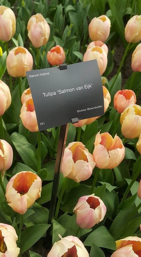 Ngắm 800 loài tulip rực rỡ tại hội hoa Keukenhof - ảnh 9