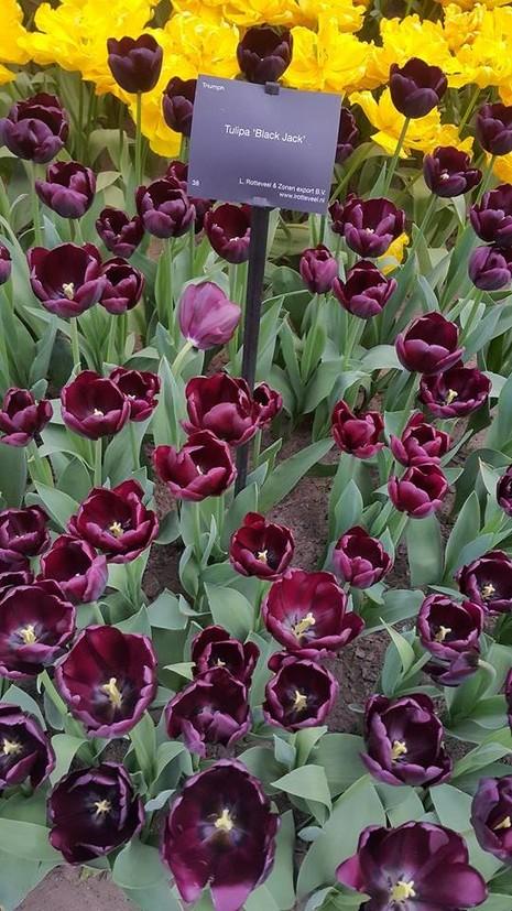Ngắm 800 loài tulip rực rỡ tại hội hoa Keukenhof - ảnh 18