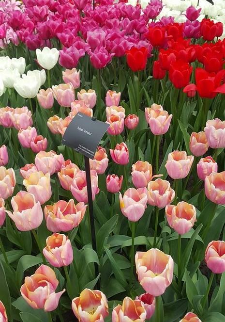 Ngắm 800 loài tulip rực rỡ tại hội hoa Keukenhof - ảnh 14