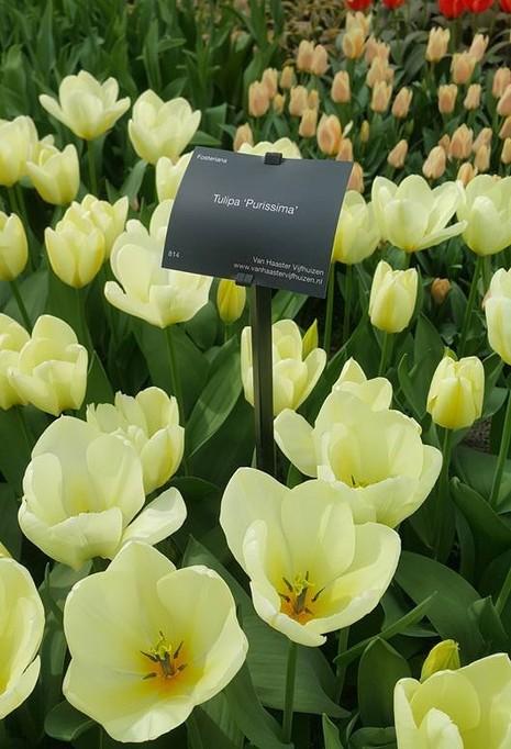 Ngắm 800 loài tulip rực rỡ tại hội hoa Keukenhof - ảnh 15