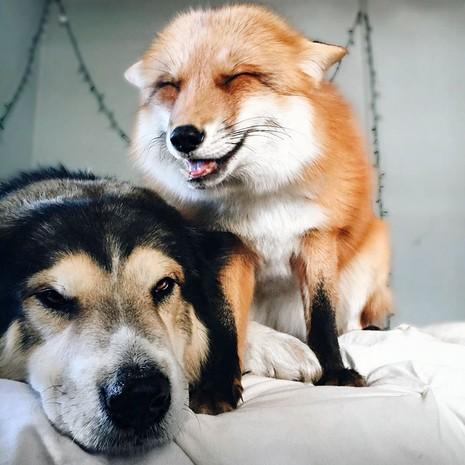Tình yêu kỳ lạ của cáo và chó - ảnh 3