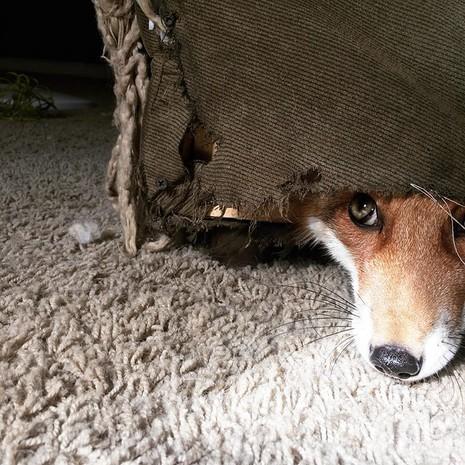 Tình yêu kỳ lạ của cáo và chó - ảnh 7