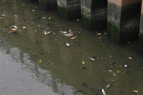 Cá lóp ngóp nổi lên hớp không khí trên kênh Nhiêu Lộc - ảnh 1