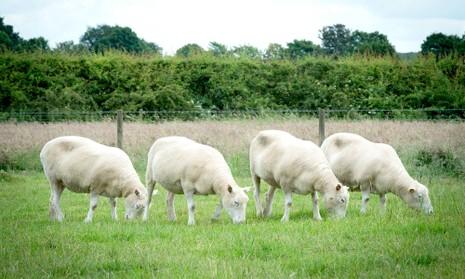 Số phận anh em của cừu Dolly giờ ra sao? - ảnh 1