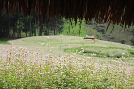 Say lòng hoa tam giác mạch cuối mùa xứ Tây Bắc - ảnh 11
