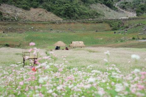 Say lòng hoa tam giác mạch cuối mùa xứ Tây Bắc - ảnh 6