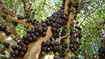 Cây nho thân gỗ trưởng thành cho nhiều quả.